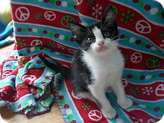 American Shorthair Kitten for adoption in Tampa, Florida - Linux