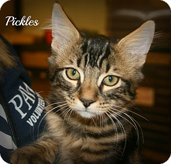 Domestic Longhair Kitten for adoption in Yuba City, California - Pickles