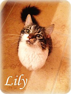 Maine Coon Cat for adoption in Arlington/Ft Worth, Texas - Lily