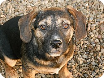 Shepherd (Unknown Type)/Labrador Retriever Mix Dog for adoption in Kingsport, Tennessee - Jet