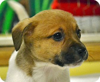 Terrier (Unknown Type, Medium)/Terrier (Unknown Type, Medium) Mix Puppy for adoption in Searcy, Arkansas - Darleene