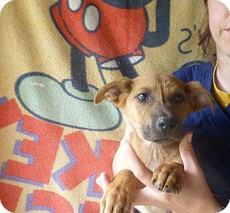 Shepherd (Unknown Type)/Labrador Retriever Mix Puppy for adoption in Oviedo, Florida - Pipin