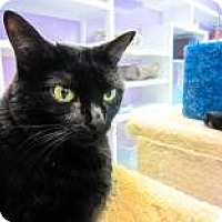 Domestic Shorthair Cat for adoption in Marietta, Georgia - Kate