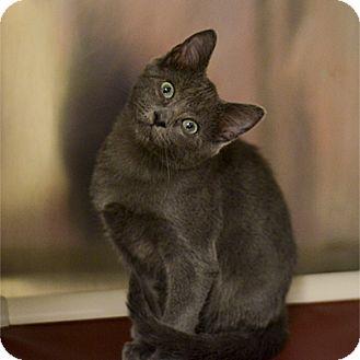 Domestic Shorthair Kitten for adoption in Stillwater, Oklahoma - Sammy