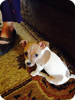 Jack Russell Terrier Mix Puppy for adoption in San Antonio, Texas - Puppy Lacy