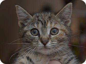 American Shorthair Kitten for adoption in Brooklyn, New York - Betty