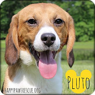 Beagle Dog for adoption in South Plainfield, New Jersey - Pluto
