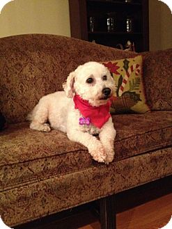 Bichon Frise/Poodle (Miniature) Mix Dog for adoption in Youngstown, Ohio - Rio ~ Pending