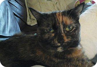 Domestic Mediumhair Cat for adoption in Newtown, Connecticut - Kiki