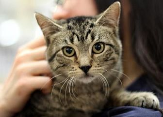 Domestic Shorthair Cat for adoption in New York, New York - Evan