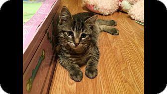 Domestic Shorthair Kitten for adoption in THORNHILL, Ontario - Potato Chip
