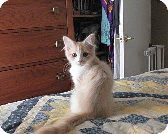 Domestic Longhair Kitten for adoption in North Wilkesboro, North Carolina - woody