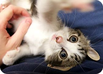 Domestic Shorthair Kitten for adoption in Montclair, New Jersey - Sloth