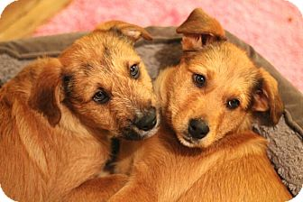 Shepherd (Unknown Type)/Airedale Terrier Mix Puppy for adoption in Mt. Prospect, Illinois - Snickerdoodle