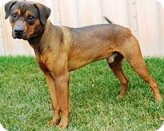 Pit Bull Terrier Mix Dog for adoption in Columbus, Nebraska - Otis