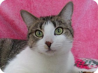 Domestic Shorthair Cat for adoption in Lloydminster, Alberta - Ingrid