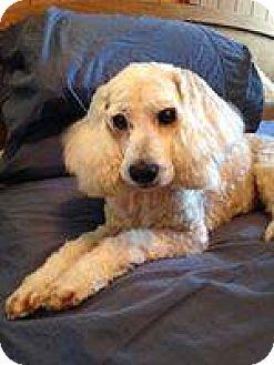 Poodle (Miniature)/Cocker Spaniel Mix Dog for adoption in Savannah, Georgia - Fiona
