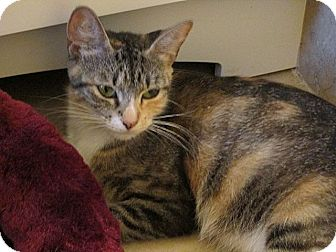Domestic Shorthair Cat for adoption in Tampa, Florida - Serena