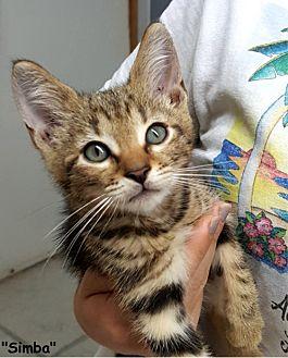 Domestic Shorthair Kitten for adoption in Key Largo, Florida - Simba