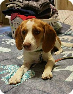 Beagle Mix Dog for adoption in Akron, Ohio - Addie PENDING ADOPTION