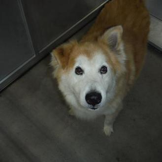 Chow Chow Mix Dog for adoption in Fort Worth, Texas - Murphy