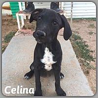 Blue Heeler/Mixed Breed (Medium) Mix Puppy for adoption in DeForest, Wisconsin - Celina