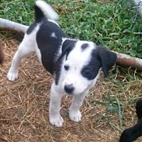 Adopt A Pet :: Domino - Waller, TX