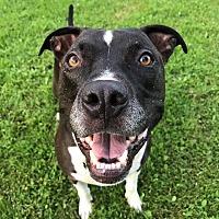 Adopt A Pet :: Beefy Stew! - Eastpointe, MI