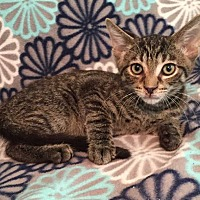 Adopt A Pet :: Sneaky Pete - Addison, IL