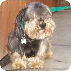Schnauzer (Miniature)/Dachshund Mix Dog for adoption in Redondo Beach, California - Blacky