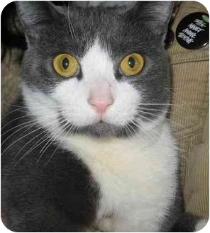 Domestic Shorthair Cat for adoption in Cleveland, Ohio - Fattoush