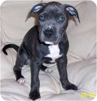 American Pit Bull Terrier/Terrier (Unknown Type, Medium) Mix Puppy for adoption in Troy, Michigan - Sookie