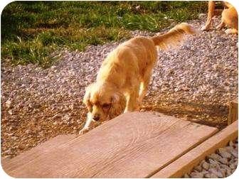 Cocker Spaniel Dog for adoption in Irvington, Kentucky - Cooper