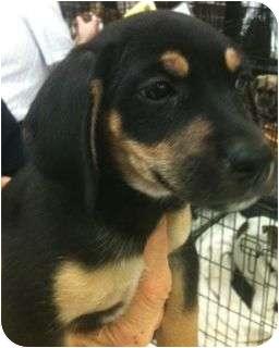 Dachshund Dog for adoption in Schertz, Texas - Jemma