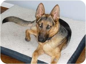 German Shepherd Dog Dog for adoption in Houston, Texas - Larz