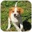 Photo 3 - Beagle Mix Puppy for adoption in Staunton, Virginia - Darby