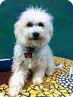 Poodle (Miniature) Mix Puppy for adoption in Goleta, California - Doodle
