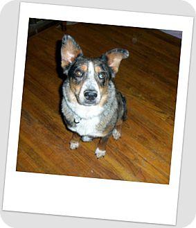 Australian Shepherd/Australian Cattle Dog Mix Dog for adoption in Gustine, California - ASHLEY