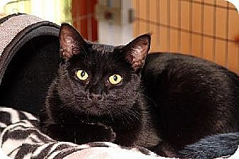 Domestic Shorthair Cat for adoption in Ventura, California - Soda Pop