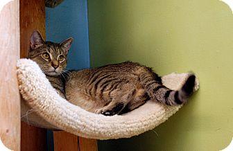 Domestic Shorthair Cat for adoption in Chicago, Illinois - Peton