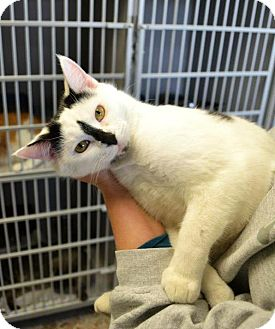 Domestic Shorthair Cat for adoption in Indianola, Iowa - C4 - Jimmy