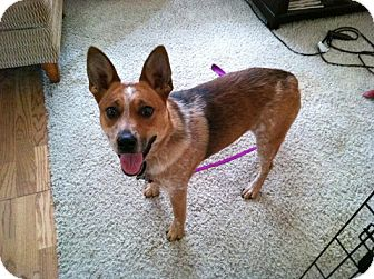 Australian Cattle Dog Mix Dog for adoption in Phoenix, Arizona - Reba