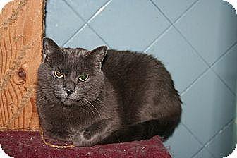 Russian Blue Cat for adoption in Santa Rosa, California - Shannon