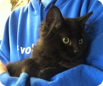 Domestic Mediumhair Kitten for adoption in Belvidere, Illinois - Trip