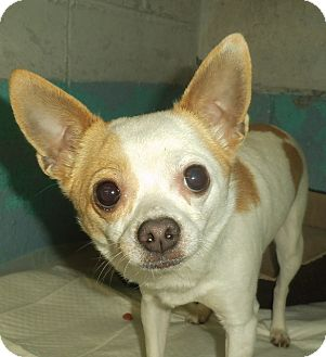 Chihuahua Dog for adoption in Middletown, New York - Chi Chi