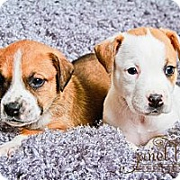 Adopt A Pet :: Boxer Puppies - Chattanooga, TN