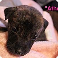 Adopt A Pet :: Athens - Bloomsburg, PA
