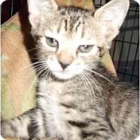 Adopt A Pet :: Adorable various kittens - Fort Lauderdale, FL