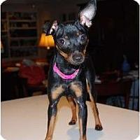 Adopt A Pet :: Dixie Diva - Nashville, TN