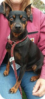 Miniature Pinscher Mix Dog for adoption in Lapeer, Michigan - CHAUNCEY-MIN-PIN NEEDS HOME!